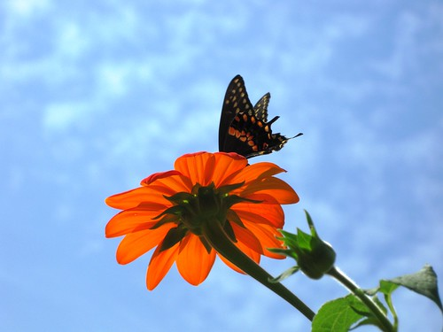 Swallowtail under Carolina Blue Sky by Rosa Blue