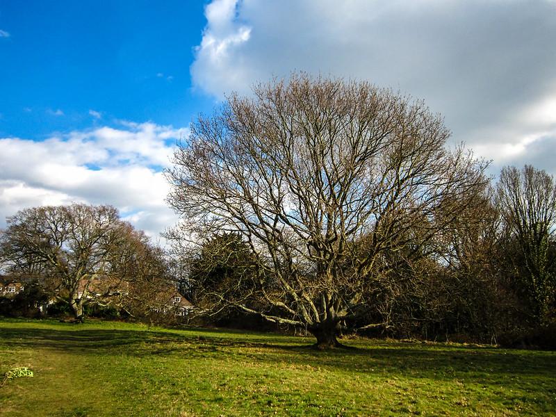 Oak Tree, Nea Meadows Nature Reserve