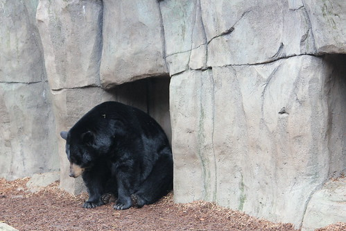 Black Bears at the Zoo (4)