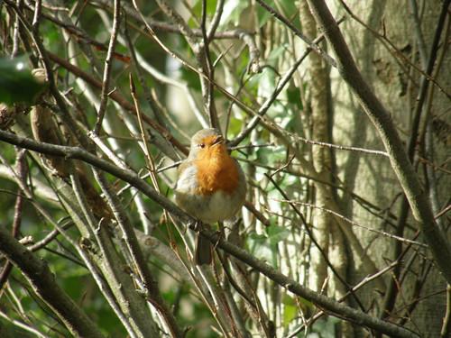 Singing robin in the sunshine