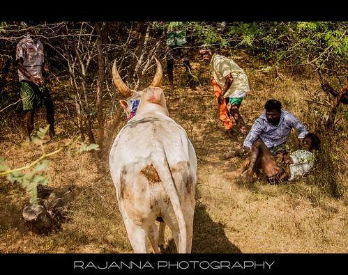 Manju Virattu in Siravayal, Karaikudi, Tamilnadu - 1 by Rajanna @ Rajanna Photography
