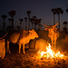 Cows by the fire: Senegal