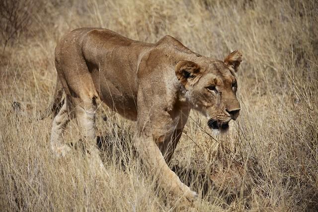 Female Lion (Panthera Leo)