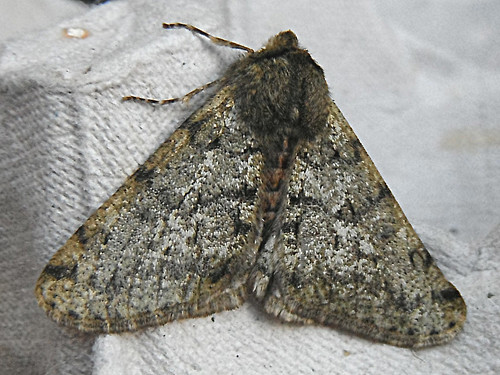 Pale Brindled Beauty Apocheima pilosaria Tophill Low NR, East Yorkshire March 2013