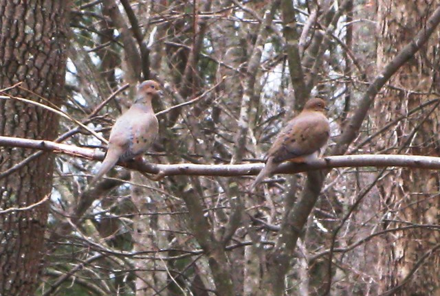 A pair of Mourning Doves (Zenaidura macroura) perched on tree branch.