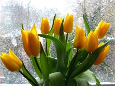 Mothers Day Tulips …