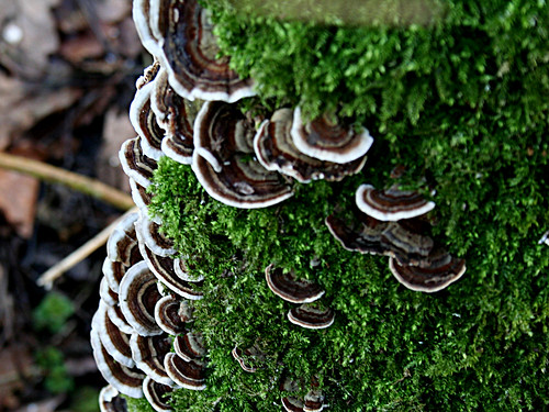 TurkeyTail Trametes versicolor Tophill Low NR, East Yorkshire Jan 2013