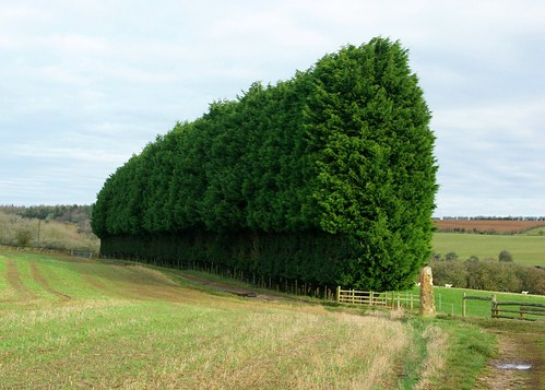 20121202-10_Leylandii Hedge - Leyland Cypress by gary.hadden
