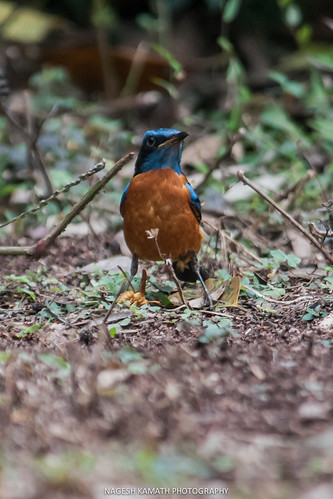 Blue-capped Rock Thrush as the Proud Hunter