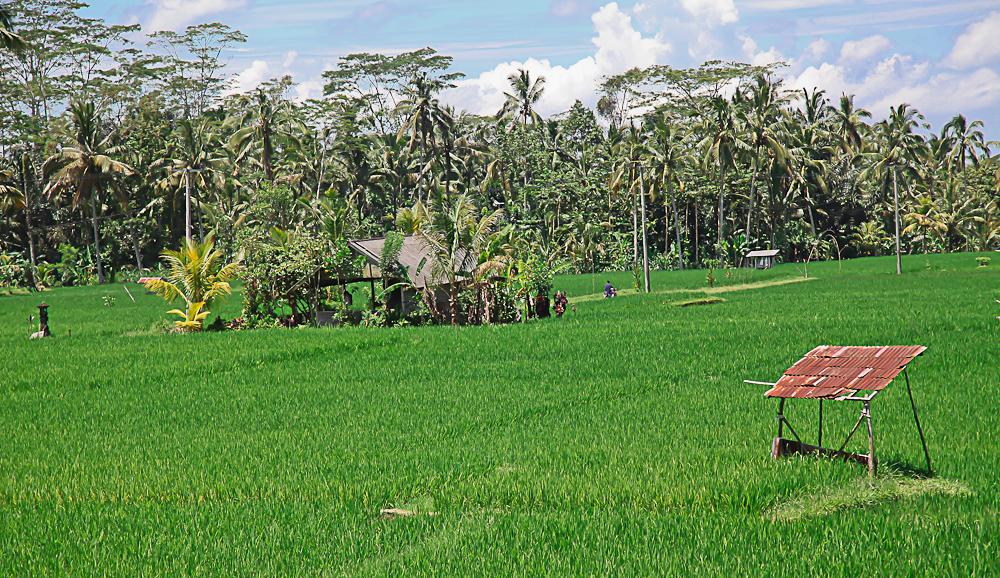 Balinese Field