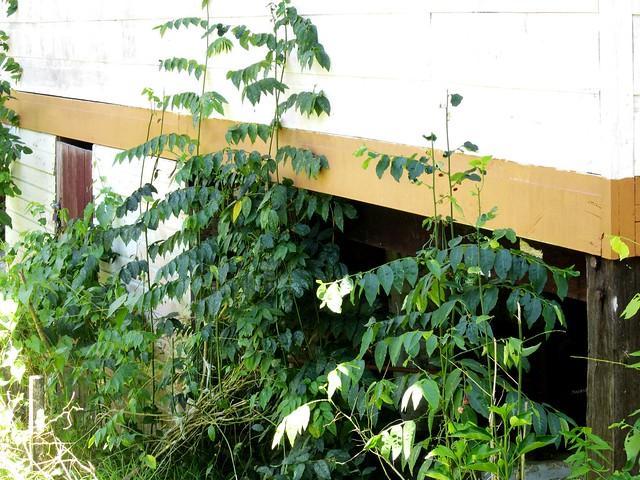 Cangkuk manis plants