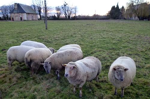 Schafe Normandie