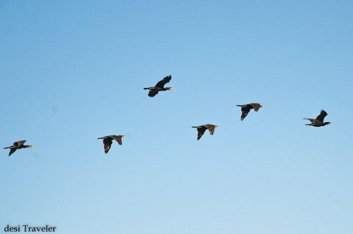 cormorants in flight in Hyderabad India