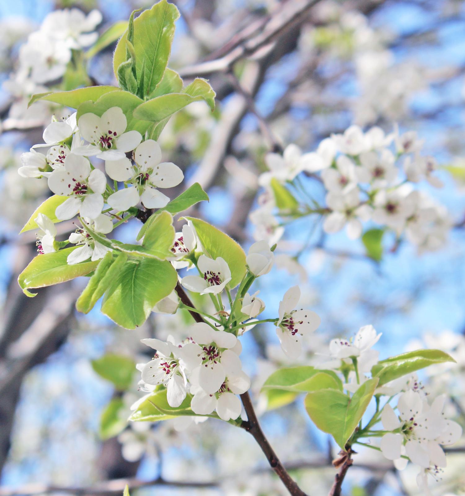 white-flowering-tree-3