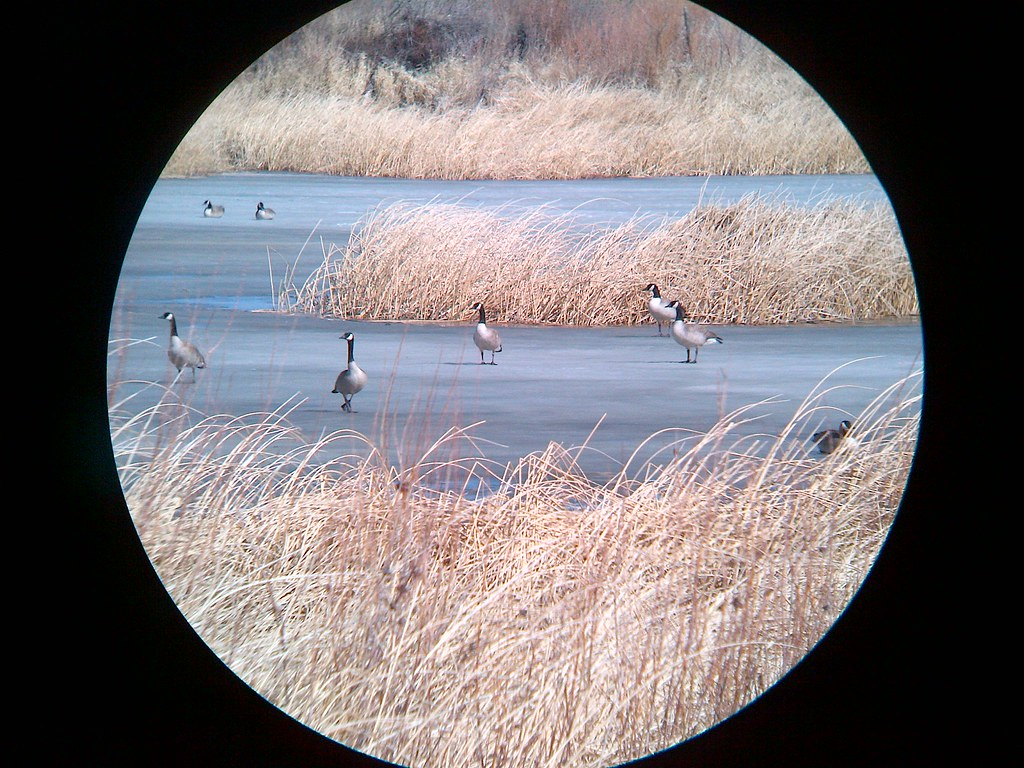 Canada Geese standing on Ice as seen through binoculars combined with a blackberry viewfinder