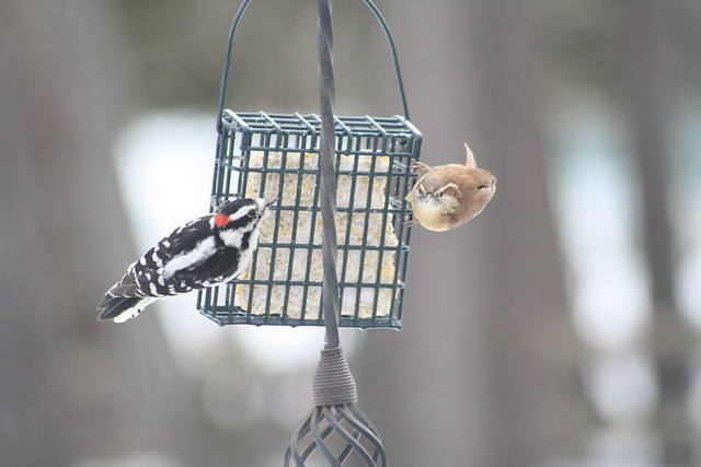 downy woodpecker and carolina wren (2)