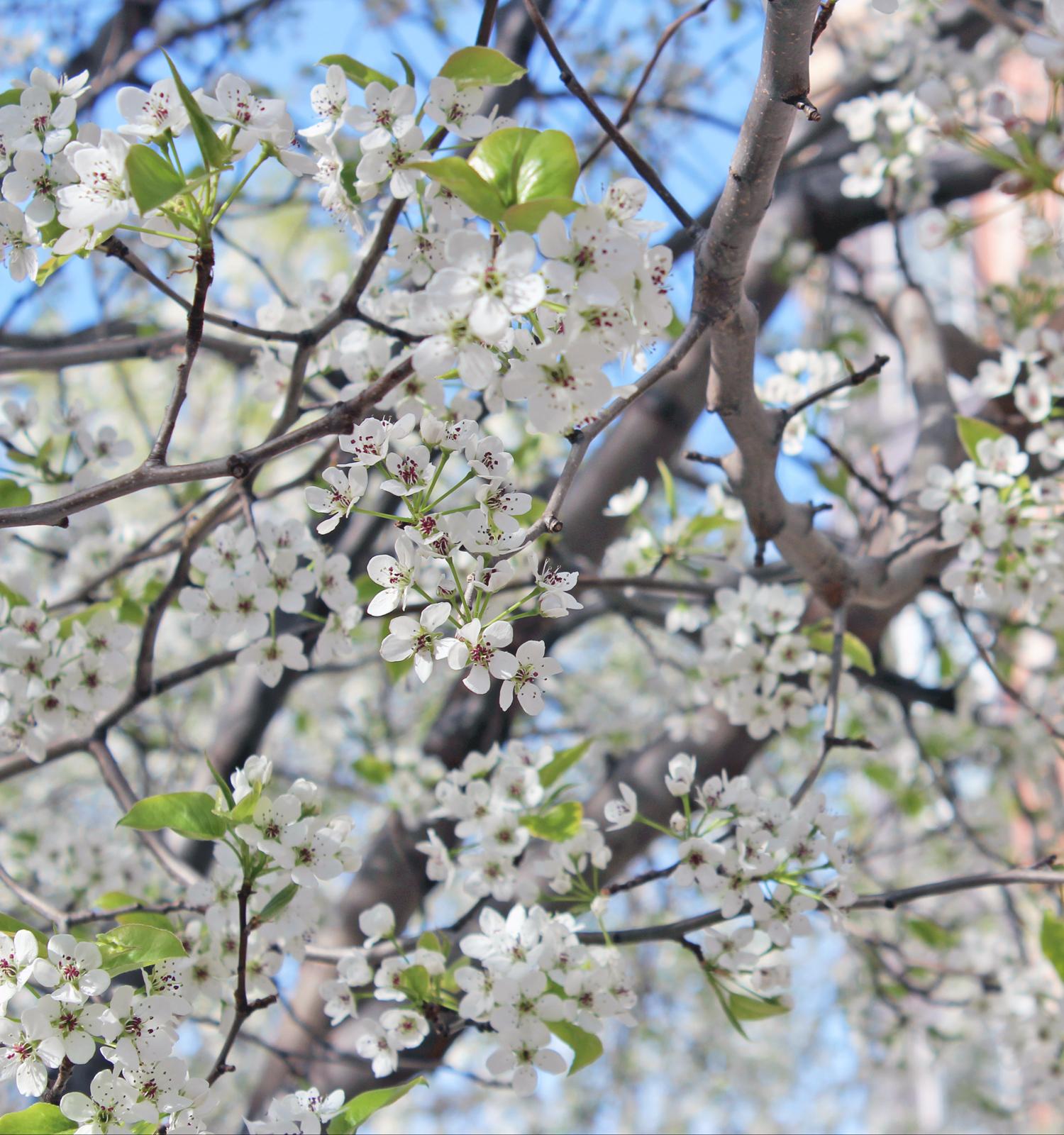 white-flowering-tree-2