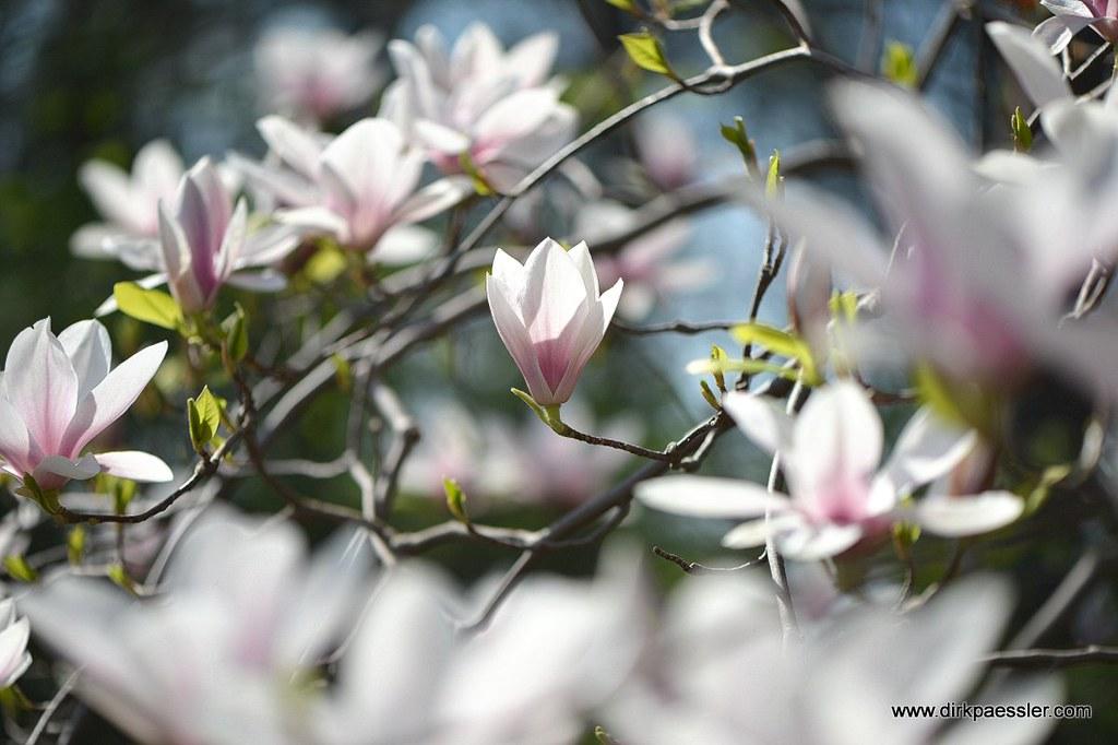 Magnolie by Dirk Paessler