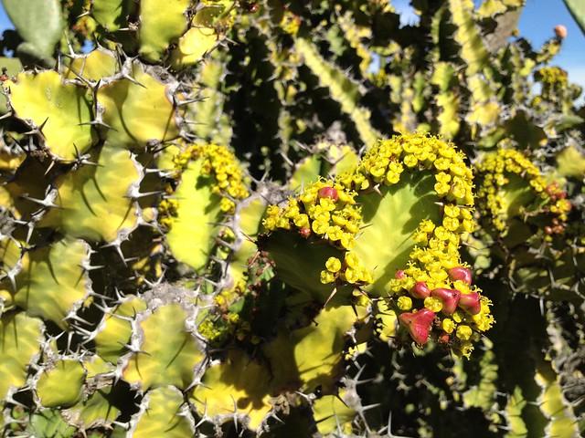 Flowering Euphoria