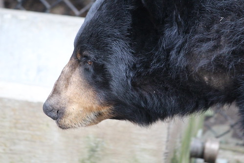 Black Bears at the Zoo (11)