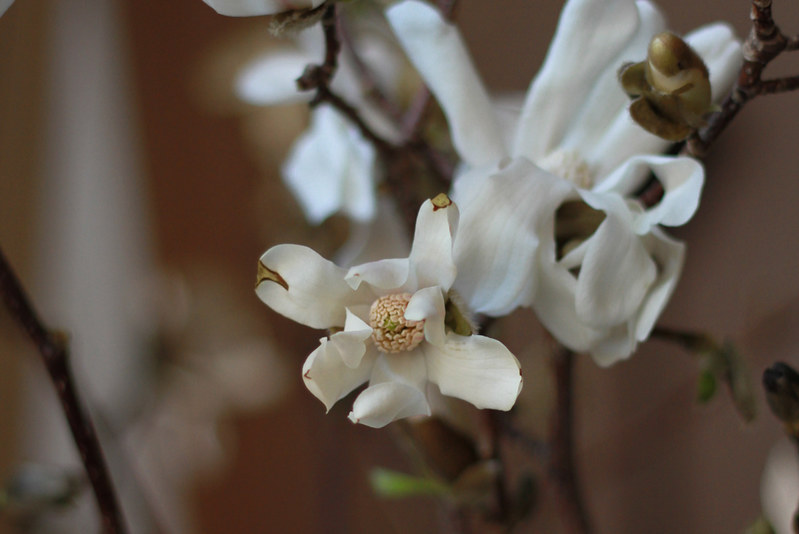 white magnolia blossoms