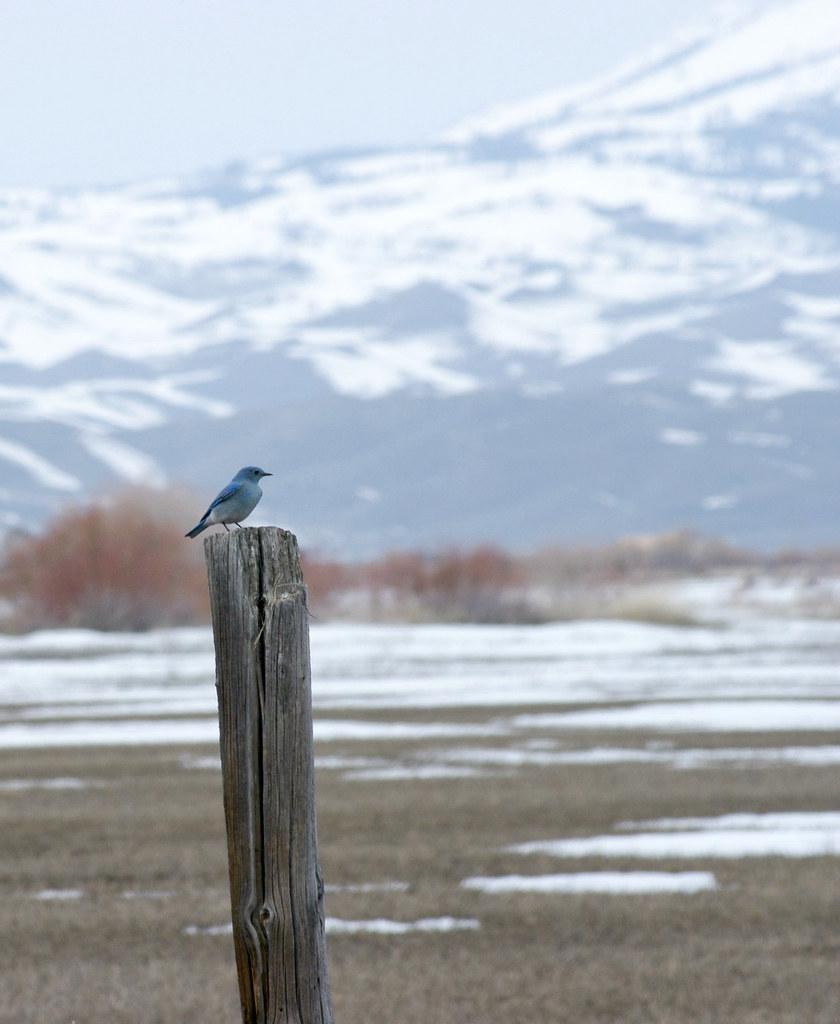 Mountain Bluebird sitting on a fence post