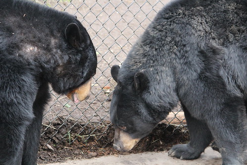 Black Bears at the Zoo (2)