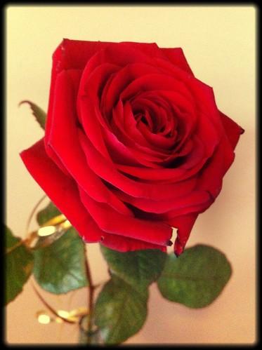 Ruusu by niini