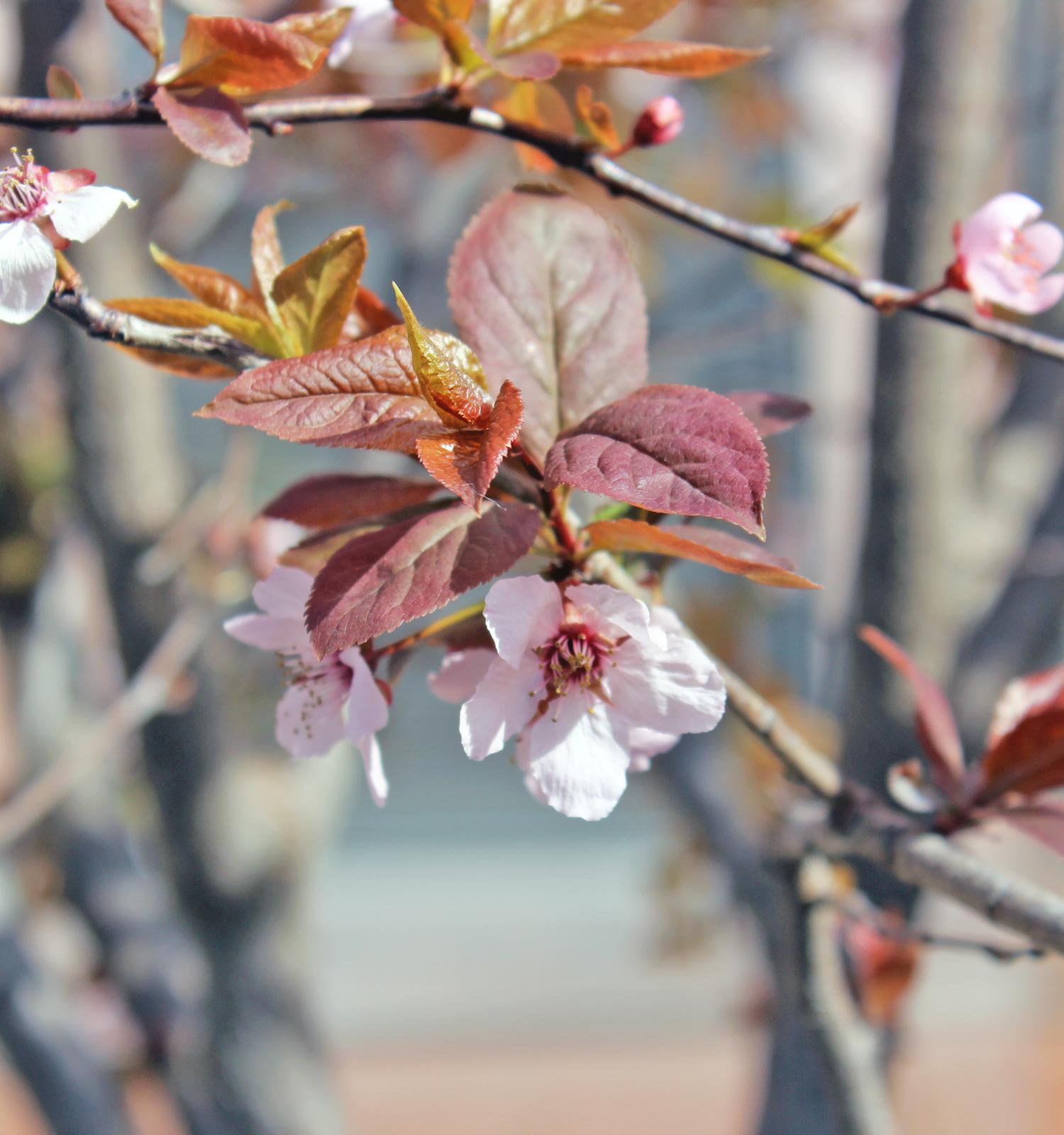 pink-flowering-tree