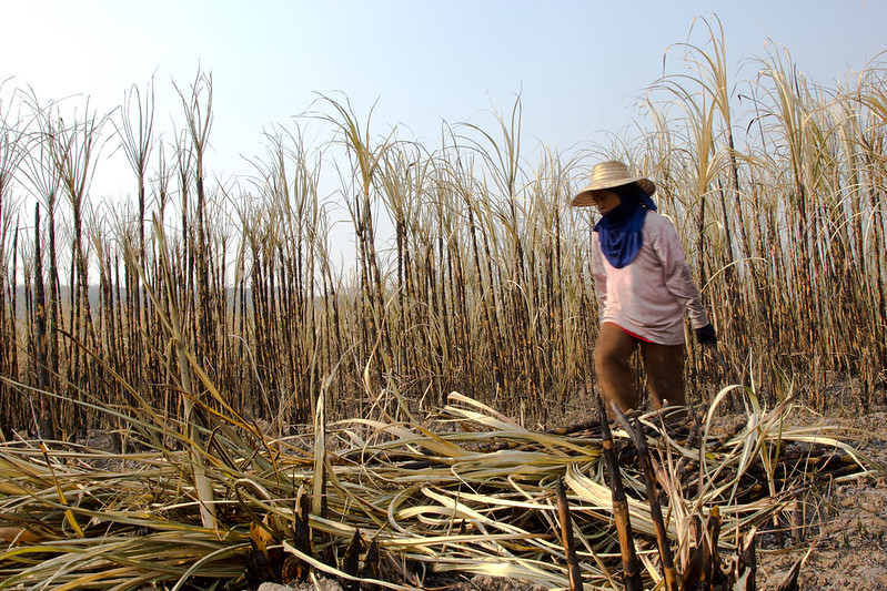 Campos de caña de azúcar en Kalasin (Tailandia), foto de Laura Villadiego