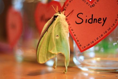 valentine moth 2