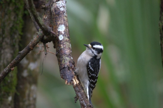 Female Downy Woodpecker at Beidler Forest