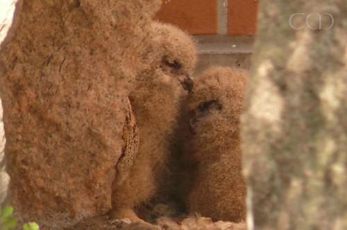 Fluffy Owl chicks..:)