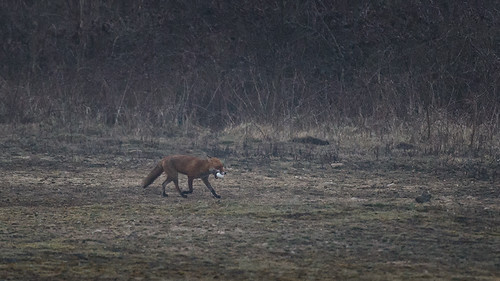 Red fox-egg thief