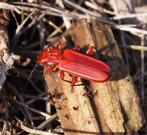 Flat Red Beetle (Cucujus clavipes) by Vicinum