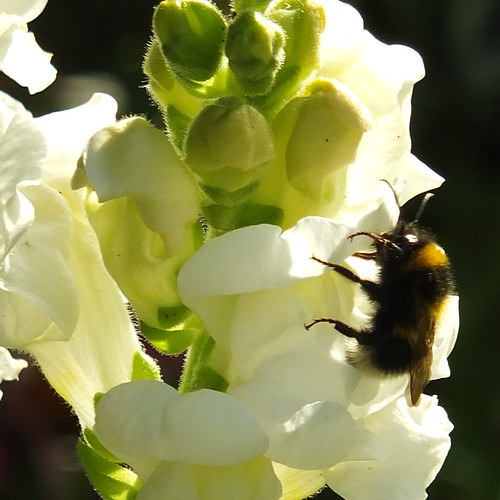 Bumble bee on snapdragon_0001.jpg by Patricia Manhire