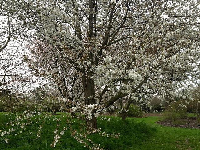 Kew cherry blossom - prunus x juddii
