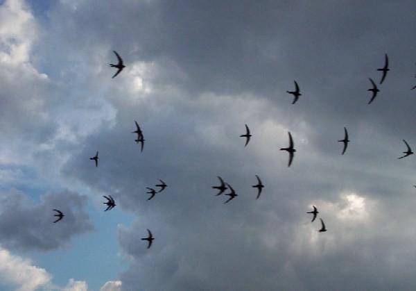 Vencejos en el cielo de la tarde. Autor, Tomasz Kuran
