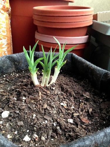 Daylily rhizome