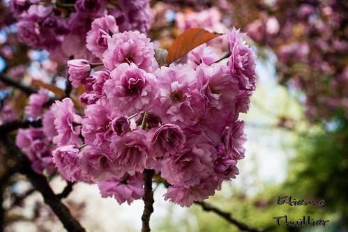 etienne-thuillier-photographie-cerisier-du-japon-2 by e.thuillier