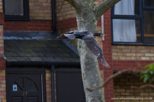 Cormorant flies past Spirit Quay in Wapping