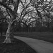 Barkless tree