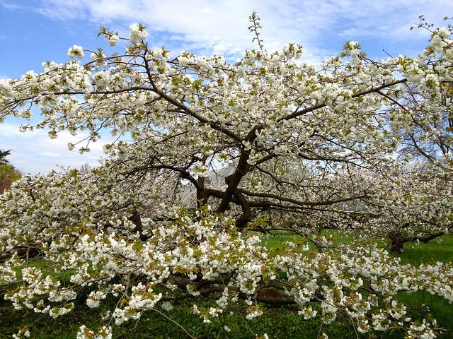 Kew cherry blossom - Prunus shirotae