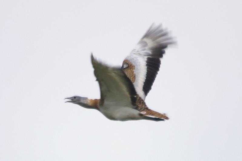 Great Bustard Takes Wing