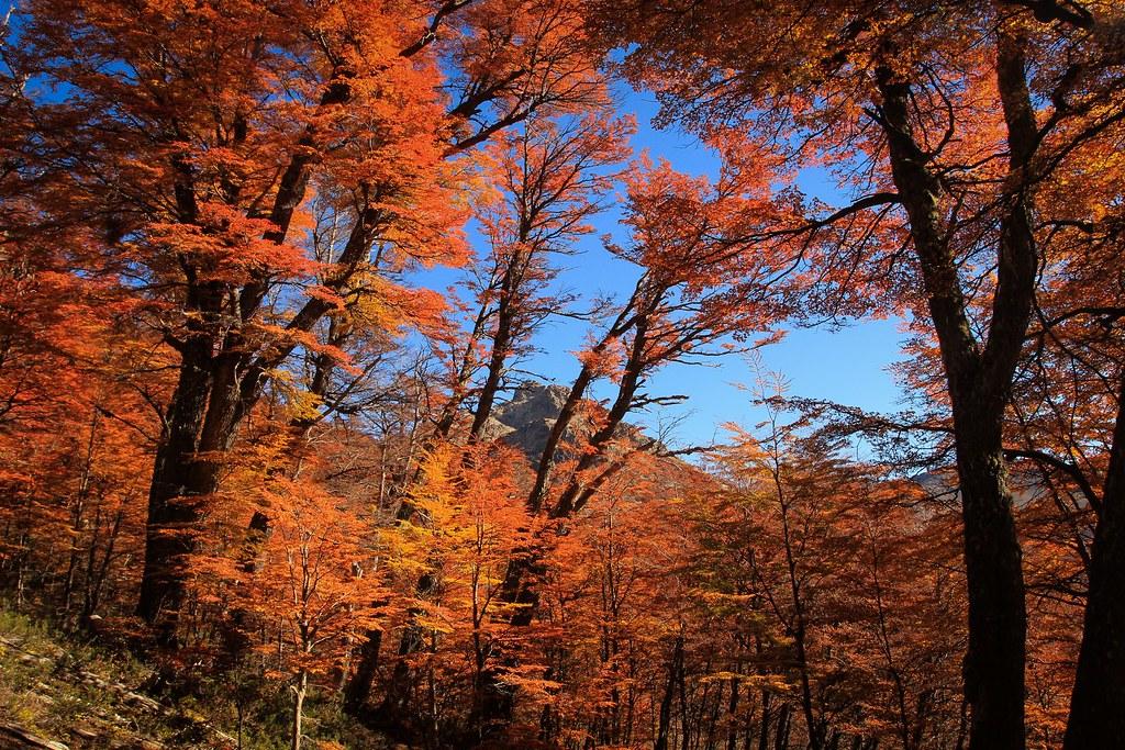 Lenga forrests falling into autumn. Nahuel Huapi National Park. Patagonia. Argentina.