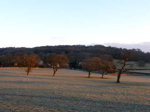 Early light on Oaks, Eaves Wood behind.