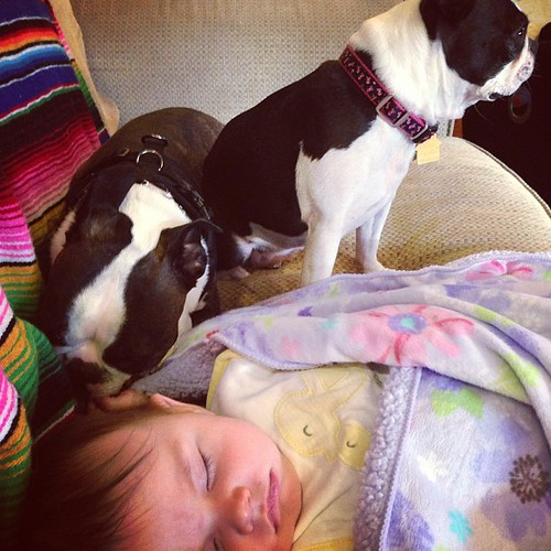 Watching while she naps #puppylove #bostonterrier