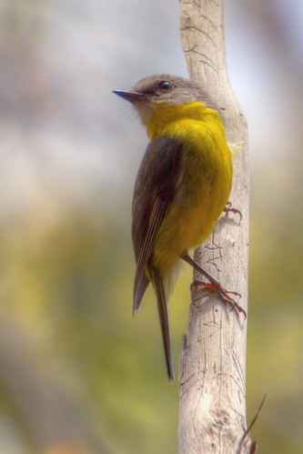 Eastern Yellow Robin (re-processed)  2012-12-06 (_MG_7772)