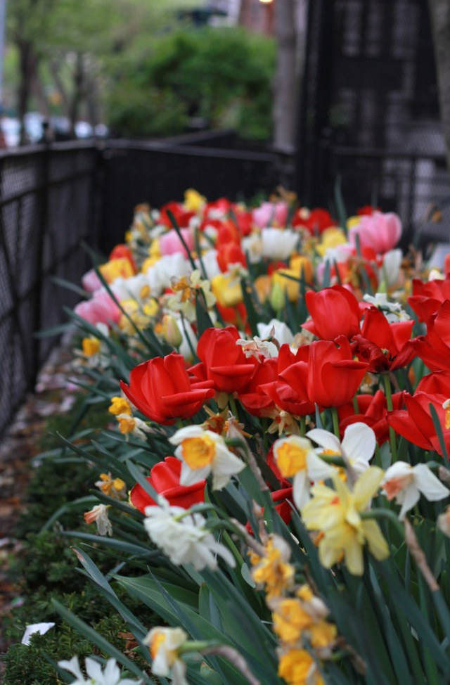tulips, brooklyn