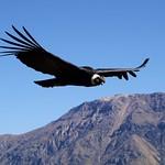 Male condor up close